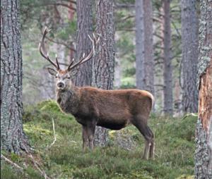 Red Deer Stag © Glyn Jones